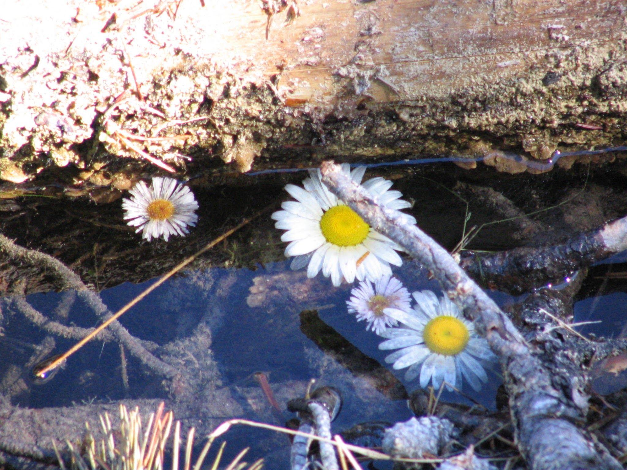 Daisies in a pool